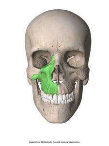 Os maxilla