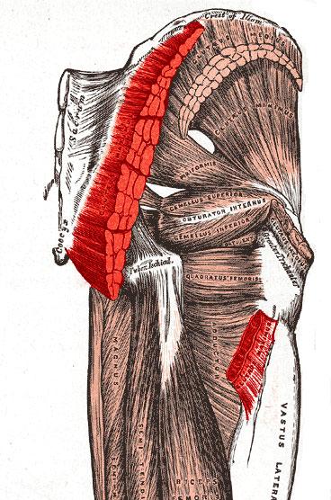 M.-gluteus-maximus