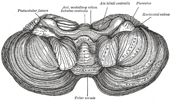 Lillhjärna - Cerebellum
