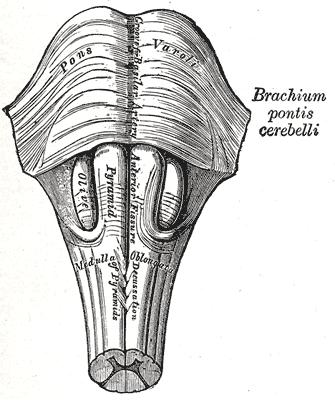 Förlängda märgen - medulla oblongata