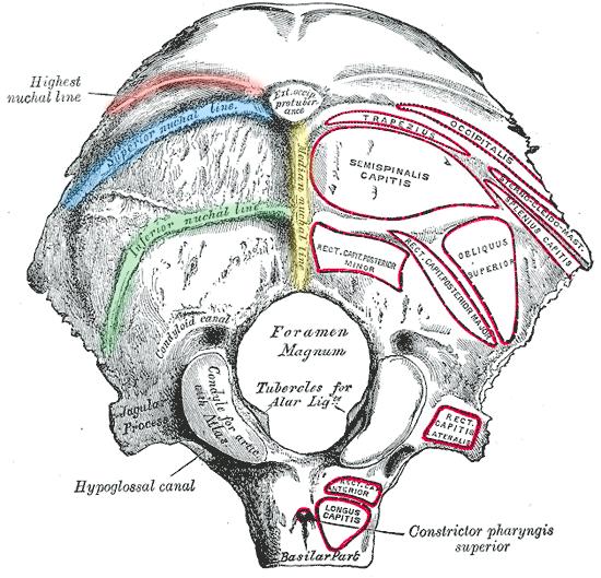 Linea nuchalis superior
