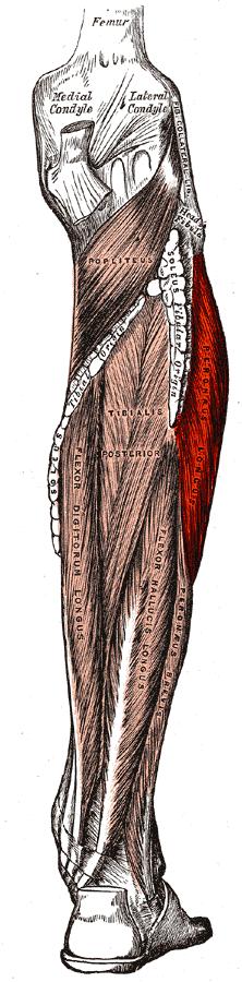 Peroneus/fibularis longus